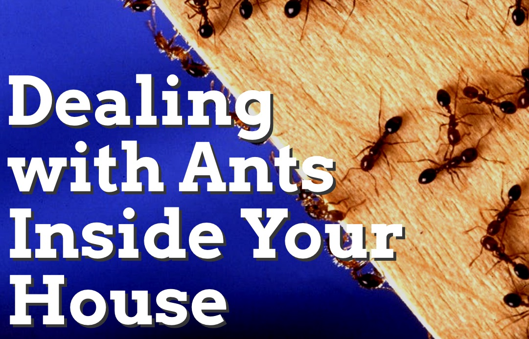 Dealing with Ants Inside Your House 1