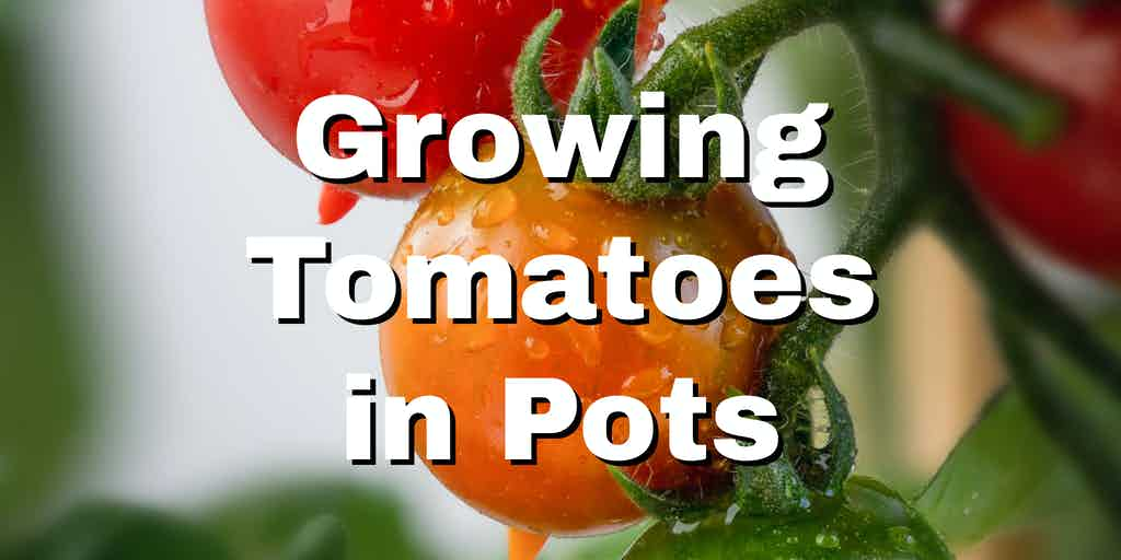 potted tomato plant