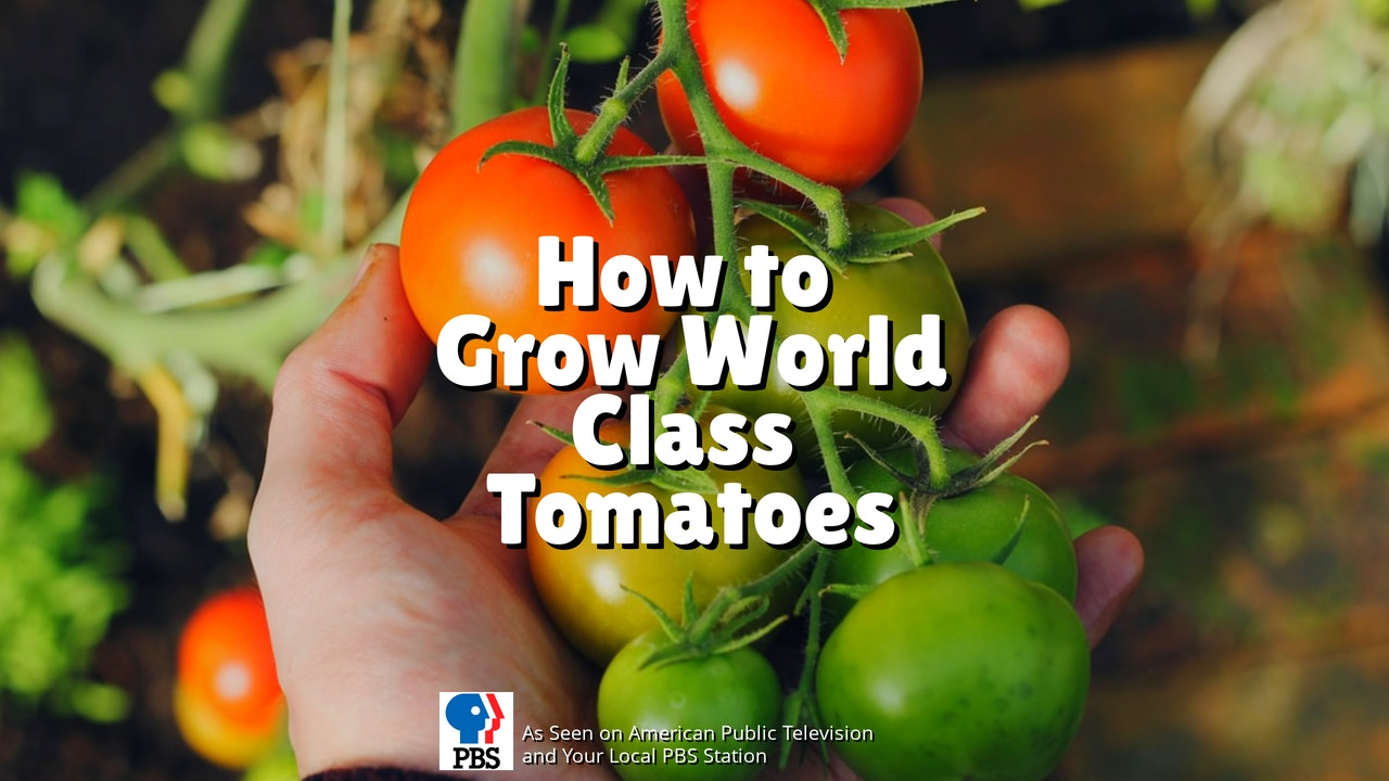 How to grow world class tomatoes